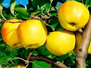 Собирать пазл Яблоки Голден онлайн