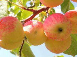 Собирать пазл Яблоки на ветке онлайн