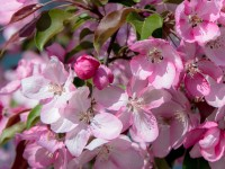 Собирать пазл Яблоня в цвету онлайн
