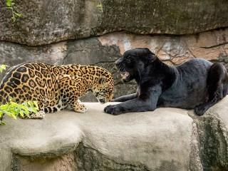 Собирать пазл Ягуар и пантера онлайн