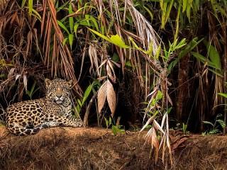 Собирать пазл Ягуар в джунглях онлайн