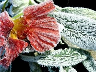 Собирать пазл Замерзший цветок онлайн