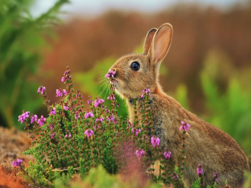 Пазл Собирать пазлы онлайн - Заяц в цветах