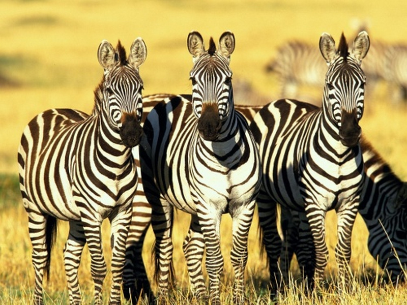 Пазл Собирать пазлы онлайн - Зебры
