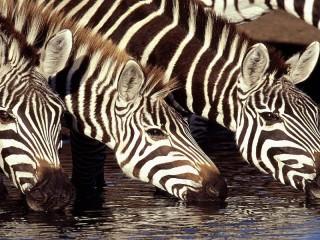 Собирать пазл Зебры на водопое онлайн