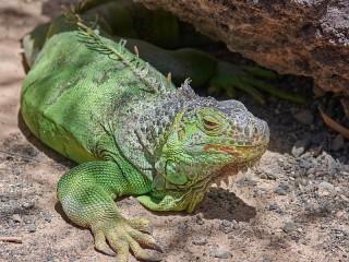 Собирать пазл Зелёная игуана онлайн
