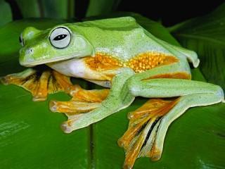 Собирать пазл Зелёная лягушка онлайн