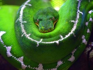 Собирать пазл Зелёный питон онлайн