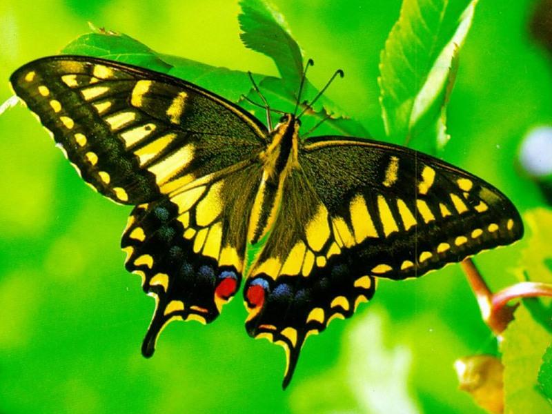 Пазл Собирать пазлы онлайн - Желтая бабочка