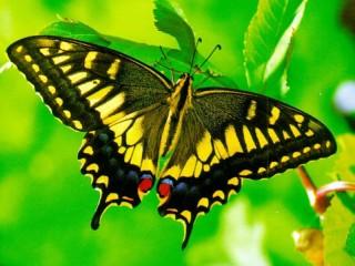 Собирать пазл Желтая бабочка онлайн