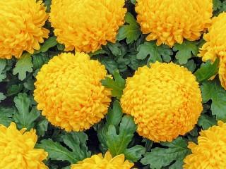 Собирать пазл Желтые хризантемы онлайн