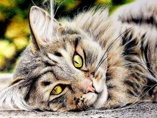 Собирать пазл Желтоглазый кот онлайн