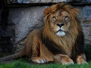 Собирать пазл Желтоглазый лев онлайн