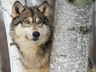Собирать пазл Желтоглазый волк онлайн
