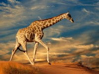 Собирать пазл Жираф онлайн