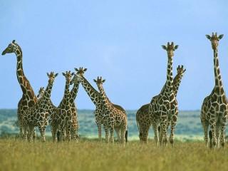 Собирать пазл Жирафы онлайн