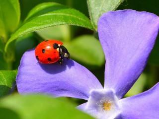Собирать пазл Жук на цветке онлайн