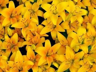 Собирать пазл Жёлтые лилии онлайн