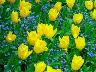 Собирать пазл Жёлтые тюльпаны онлайн
