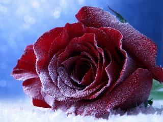 Собирать пазл Зимняя роза онлайн