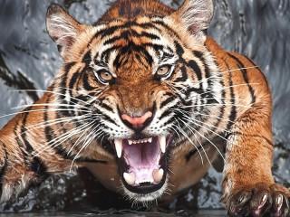 Собирать пазл Злой тигр онлайн