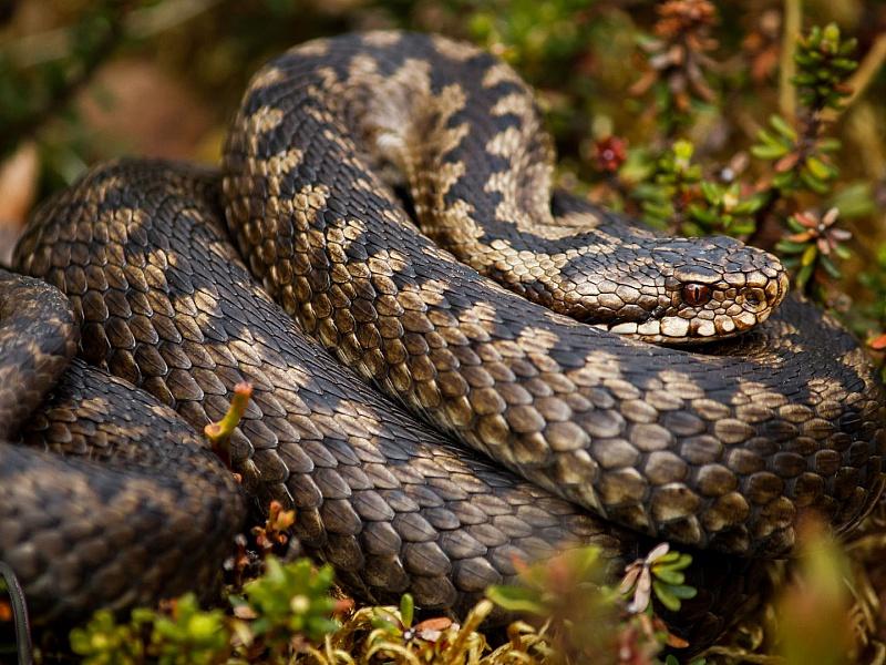 Пазл Собирать пазлы онлайн - Змея