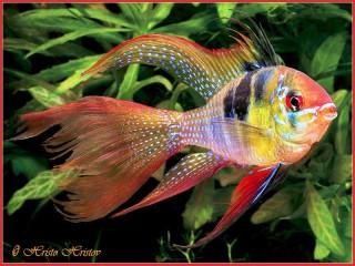 Собирать пазл Золотая рыбка онлайн