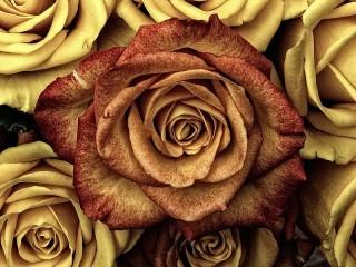 Собирать пазл Золотые розы онлайн