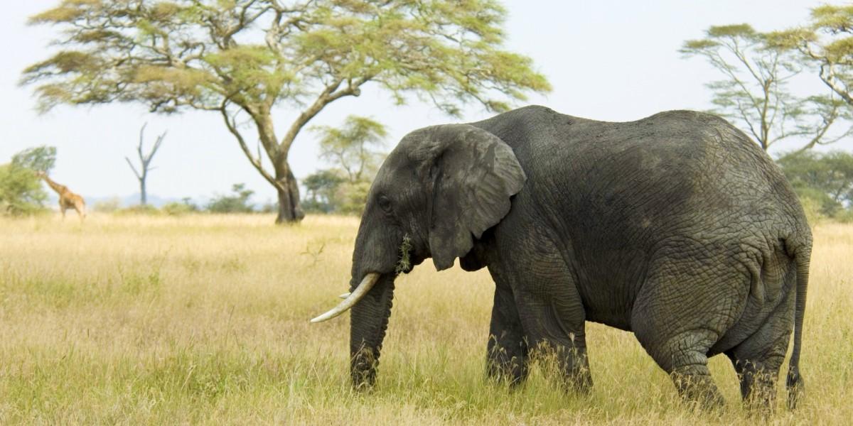 Пазл Собирать пазлы онлайн - Слон