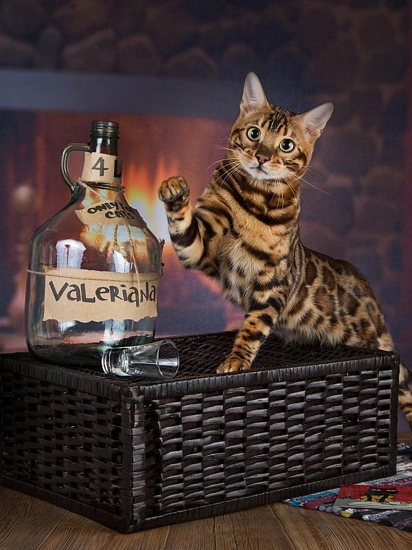 Пазл Собирать пазлы онлайн - Кот и валерьянка