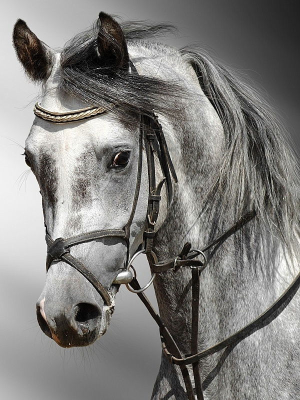 Пазл Собирать пазлы онлайн - Серая лошадь
