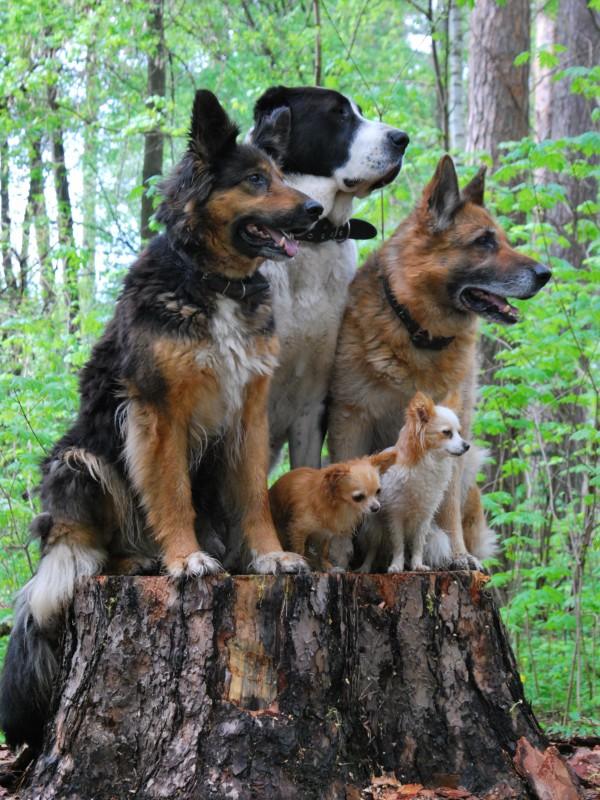 Пазл Собирать пазлы онлайн - Собачья семья