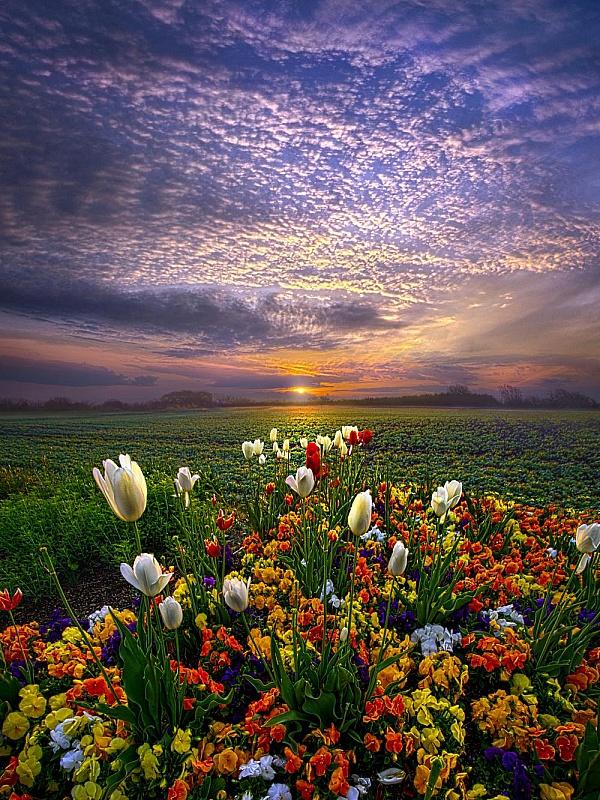 Пазл Тюльпаны на рассвете